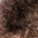 Mouton Islandais teinte marron poils courts
